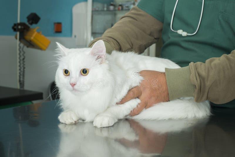 Kat in veterinair royalty-vrije stock fotografie