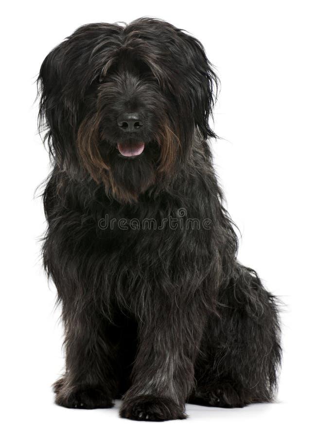 Katalanischer Schäferhund, 6 Jahre alt, sitzend stockfoto