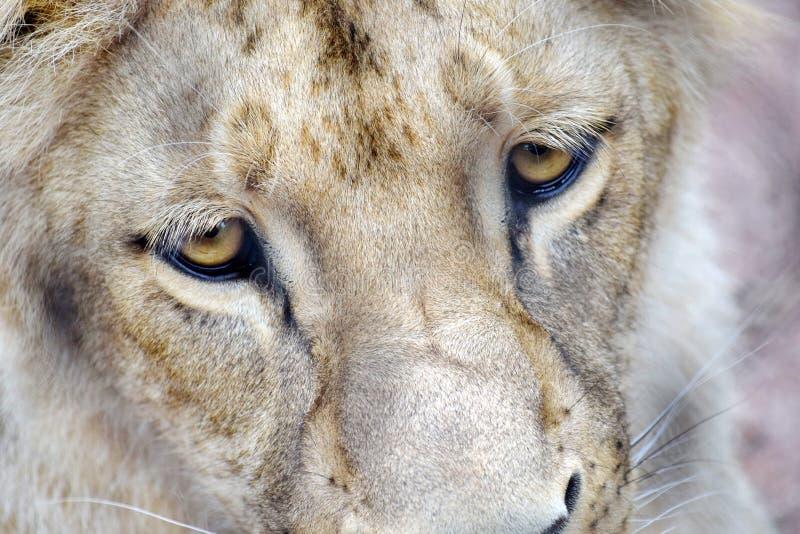 Katanga Lion Face and Eyes CLoseup stock images