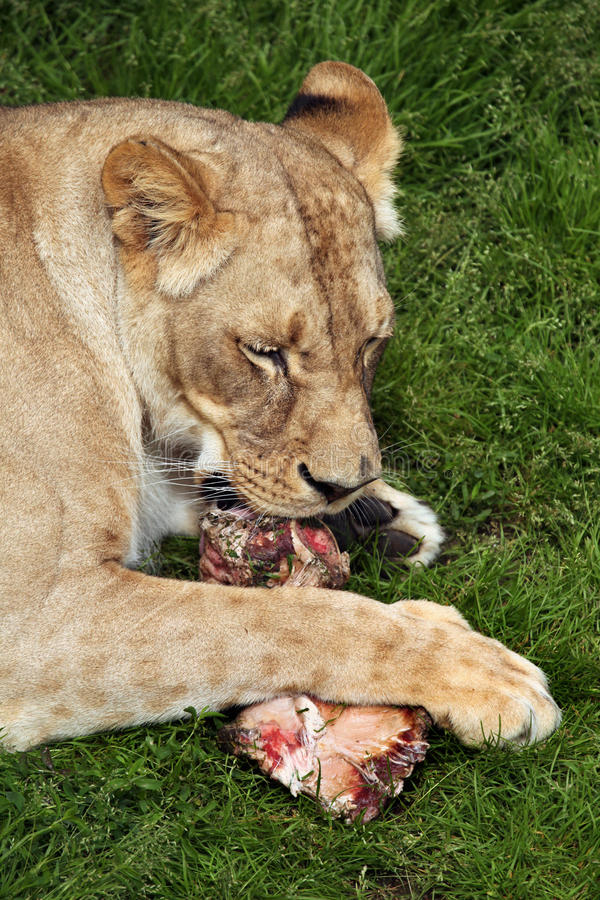 Katanga lion (Panthera leo bleyenberghi). royalty free stock image