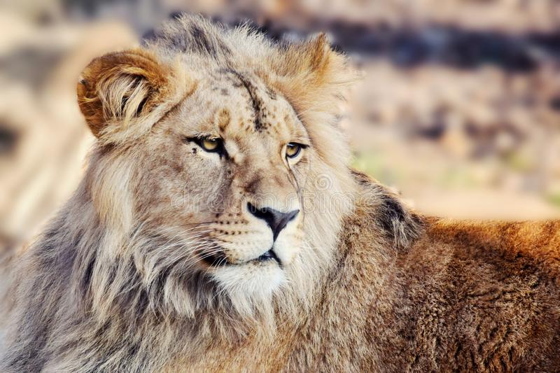 Katanga Lion Panthera Leo Bleyenberghi Head Closeup. Katanga Lion Panthera Leo Bleyenberghi Portrait stock images