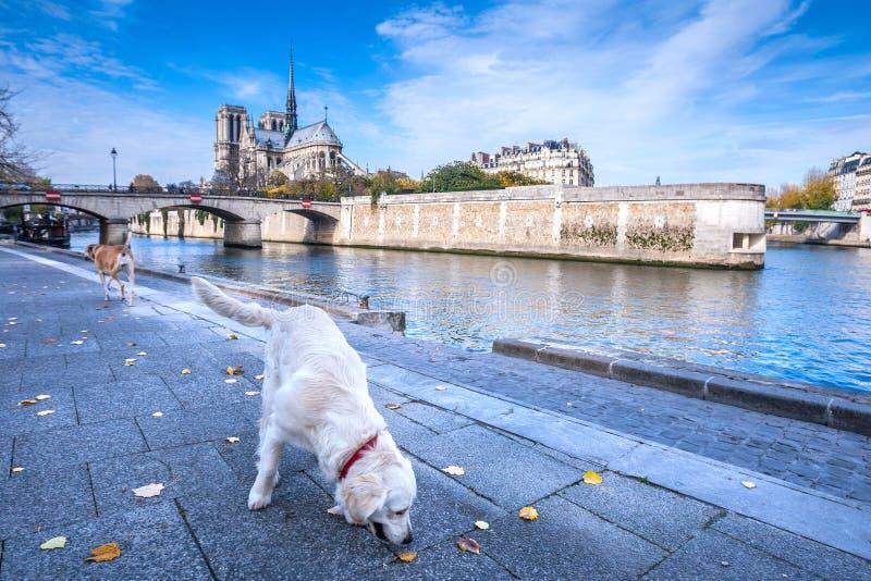 Katedra notre dame de paris jesieni pogodny popołudnie Bulwar wonton rzeka Dwa domestics psa biorą spacer i relaksują obrazy stock