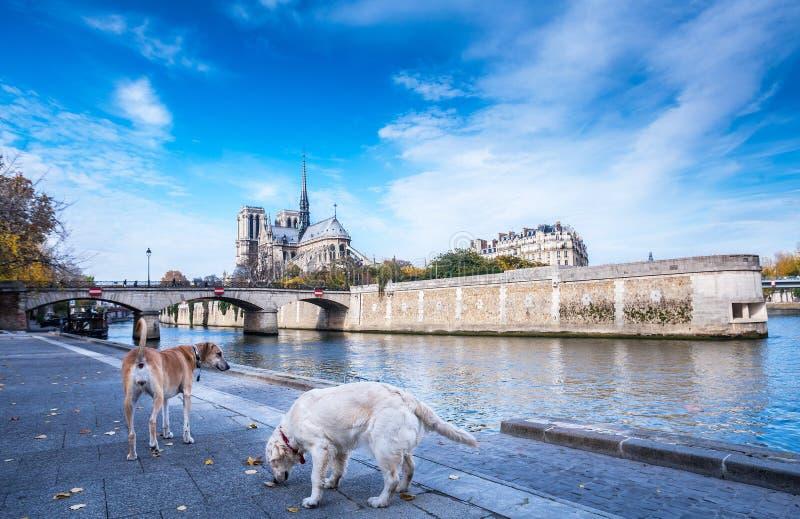 Katedra notre dame de paris jesieni pogodny popo?udnie Bulwar wonton rzeka Dwa domestics psa bior? spacer i relaksuj? fotografia royalty free