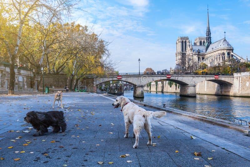 Katedra notre dame de paris jesieni pogodny popo?udnie Bulwar wonton rzeka Trzy domestics psa biorą spacer i relaksują zdjęcia stock