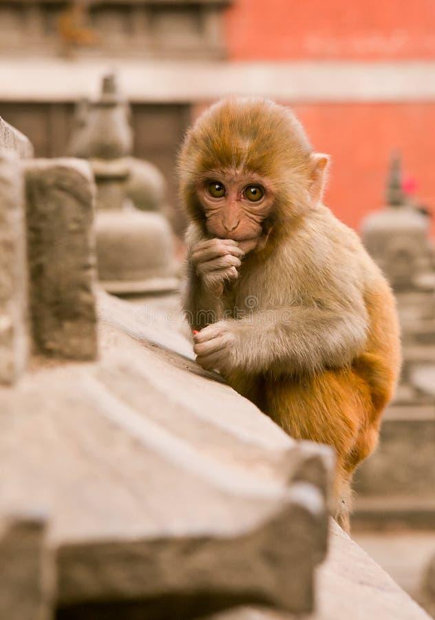 Kathmandu, Nepal - 31 de dezembro de 2016: O macaco do smoll foto de stock royalty free