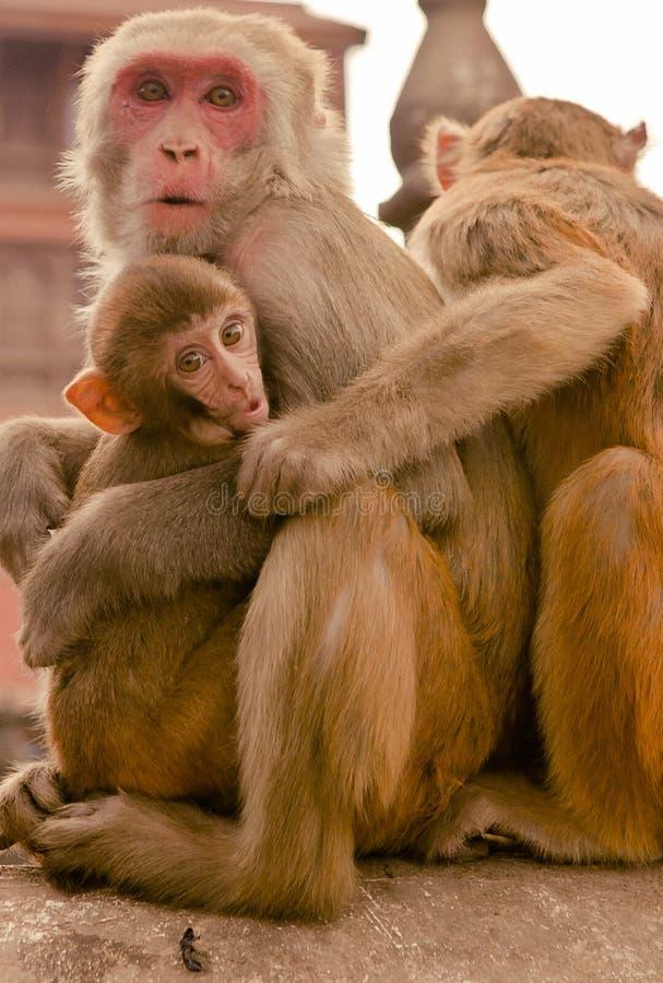 Kathmandu, Nepal - 31 de dezembro de 2016: Os macacos do smoll imagens de stock