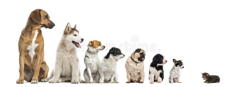 Katje die geïsoleerde honden van verschillende hoogten onder ogen zien, stock foto
