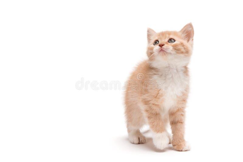 Katje die in studio lopen die omhoog eruit zien stock foto