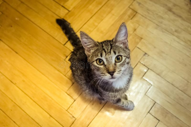 Katje met een zieke poot royalty-vrije stock fotografie