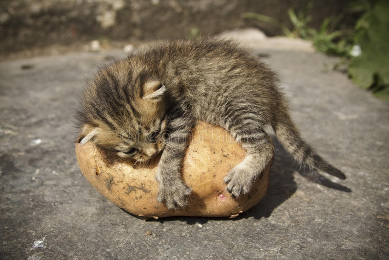 Katje op aardappels stock fotografie