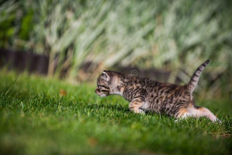 Katje op jacht royalty-vrije stock foto's
