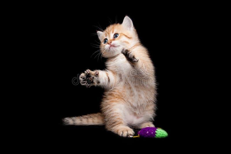Katje spelen die zich op zijn achterste benen, rode speelse katje grappige status op zijn achterste benen naast het stuk speelgoe stock fotografie