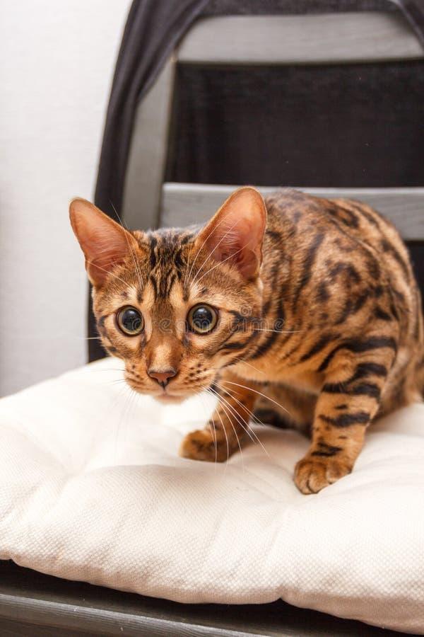 Katje van een kat van Bengalen stock foto