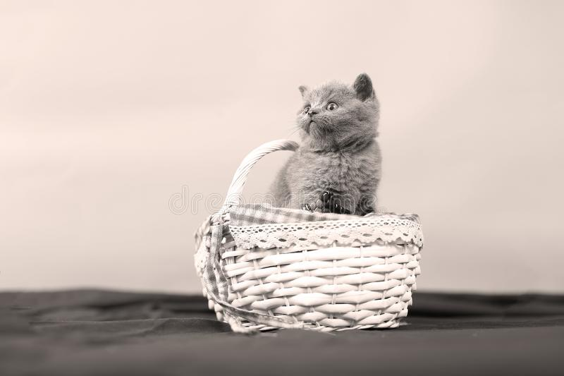 Katjes in een mand stock afbeelding