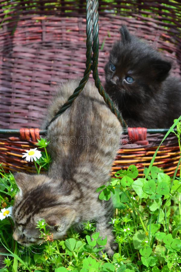 Katjes in een mand royalty-vrije stock foto