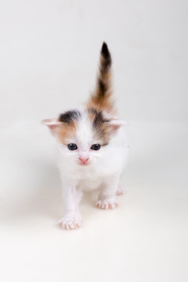 Katjes op een witte achtergrond stock afbeelding