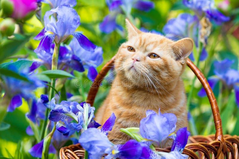 Katjeszitting in irisbloemen stock fotografie