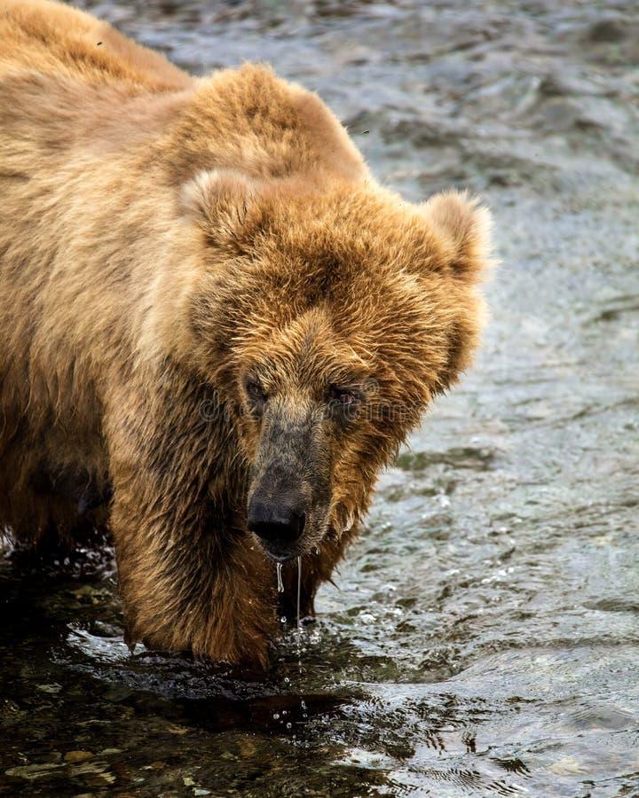 Katmai Brown Bears; Brooks Falls; Alaska; USA stock photo