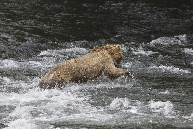Katmai Brown Bears; Brooks Falls; Alaska; USA. Katmai Brown Bears spend many hours each day fishing for salmon at Brooks Falls, Alaska, USA 2016 royalty free stock images