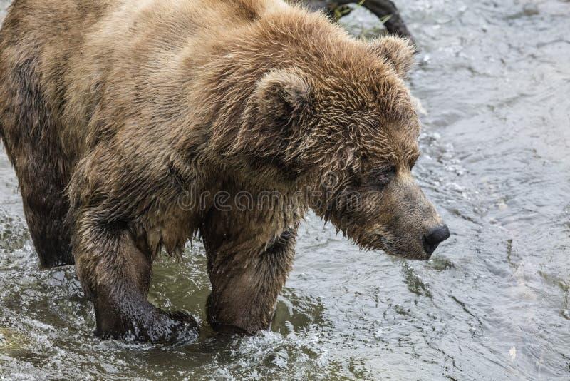 Katmai Brown niedźwiedź obraz stock