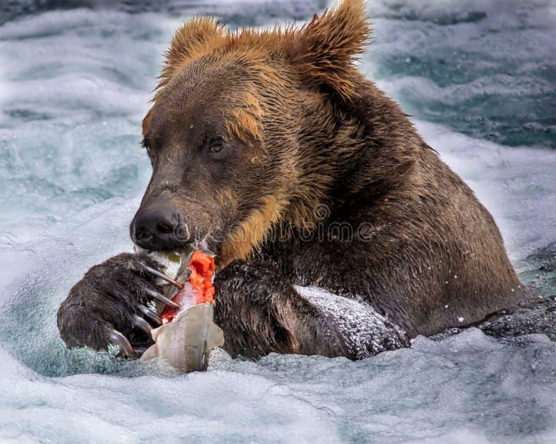 Katmai Brown niedźwiedzie; Strumyków spadki; Alaska; USA obrazy royalty free