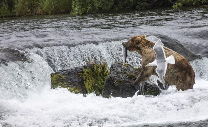 Katmai brunbjörnar; Bäcknedgångar; Alaska royaltyfri fotografi