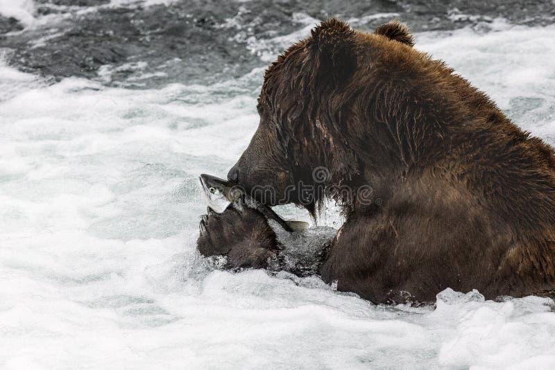 Katmai brunbjörnar; Bäcknedgångar; Alaska; USA royaltyfria bilder
