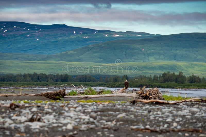 Katmai National Park - Wide angle view of an eagle perched on a royalty free stock photos