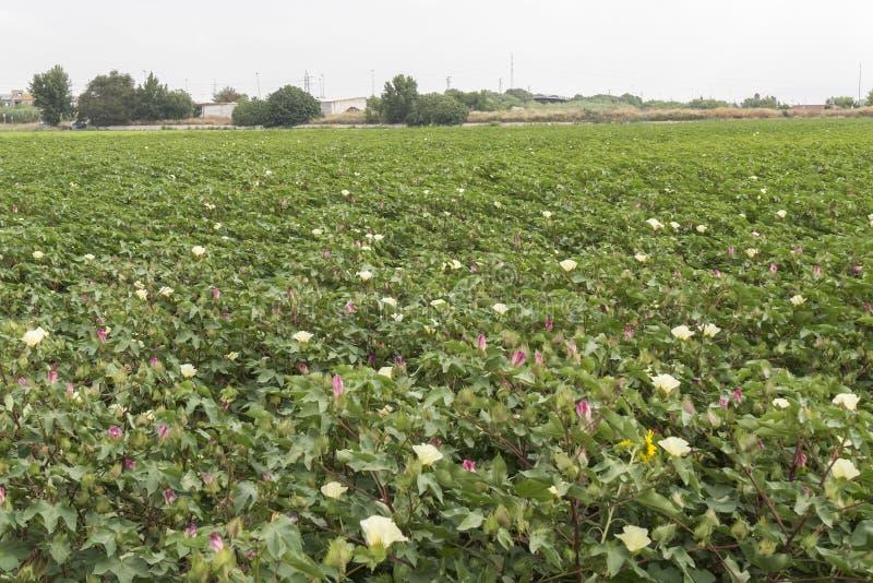 Katoenen aanplanting in bloem stock foto's