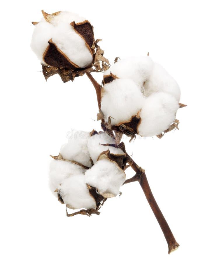 Katoenen bloem royalty-vrije stock afbeelding