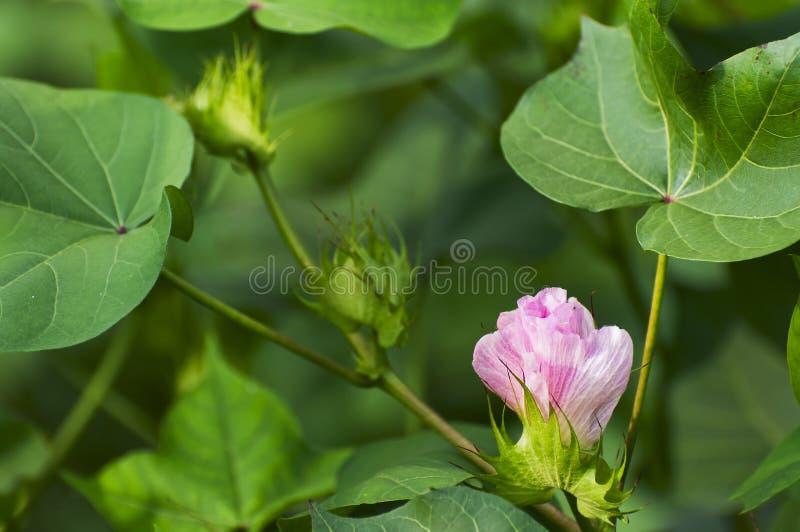 Katoenen bloem stock afbeeldingen