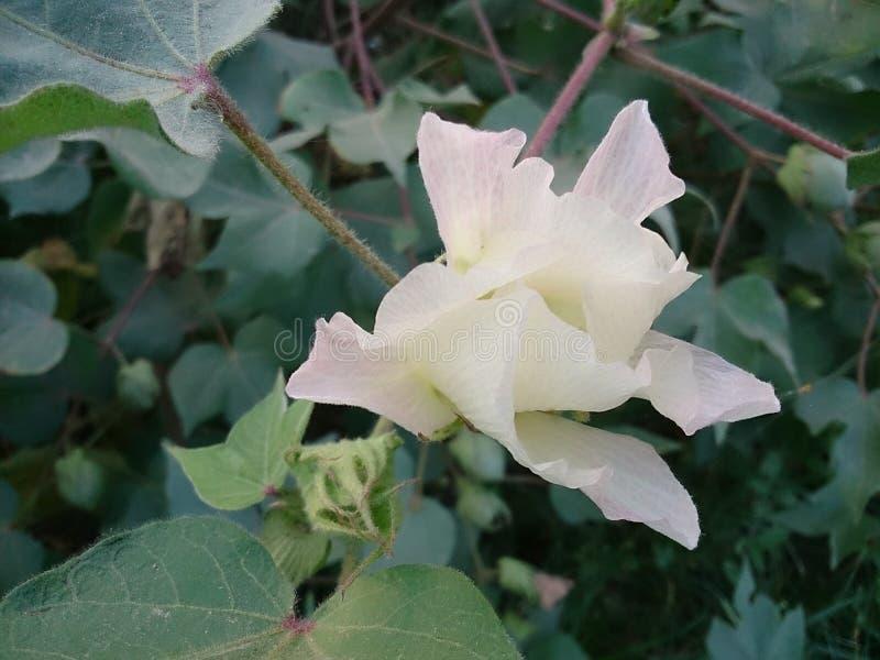 Katoenen bloem stock afbeelding