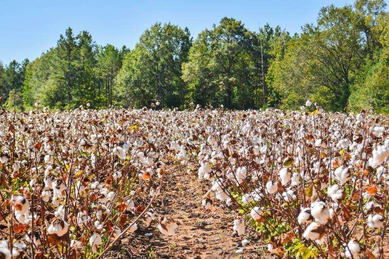 Katoenen gebied klaar voor oogst stock afbeeldingen