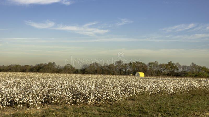 Katoenen gebied klaar voor oogst stock fotografie