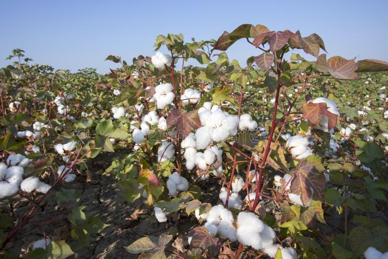 Katoenen gebiedslandbouw, oogst Turkije Izmir royalty-vrije stock afbeelding