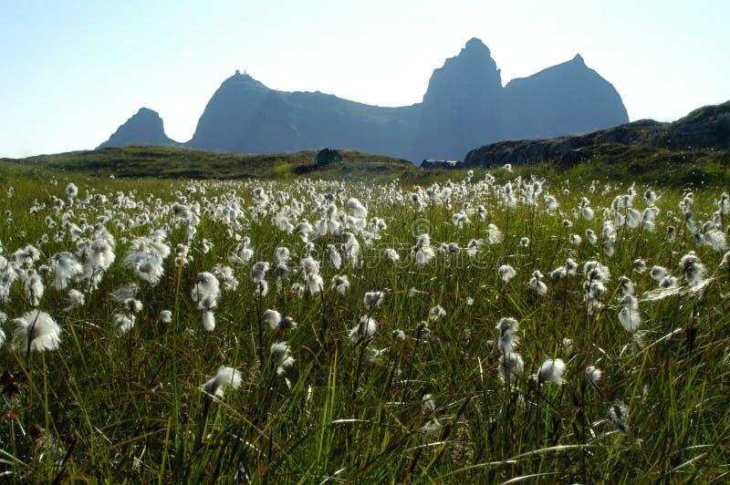 Katoenen gras op een eiland in Noorwegen royalty-vrije stock foto's