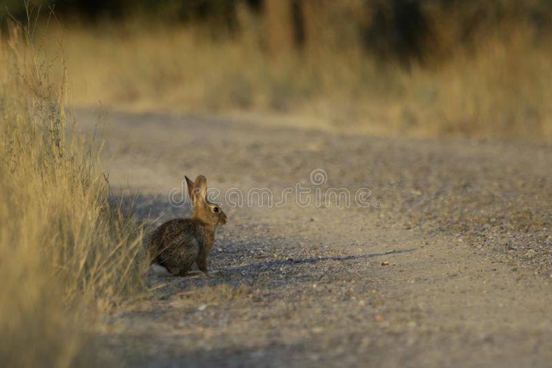 Katoenstaartkonijnkonijn: zonovergoten die grintweg met gouden grasse wordt omzoomd royalty-vrije stock fotografie