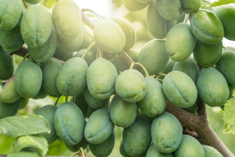 Katrinplommoner mognar i solen på en fruktträdgård royaltyfri bild