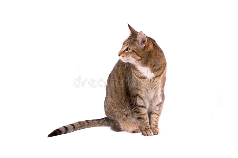 katt över white royaltyfria bilder