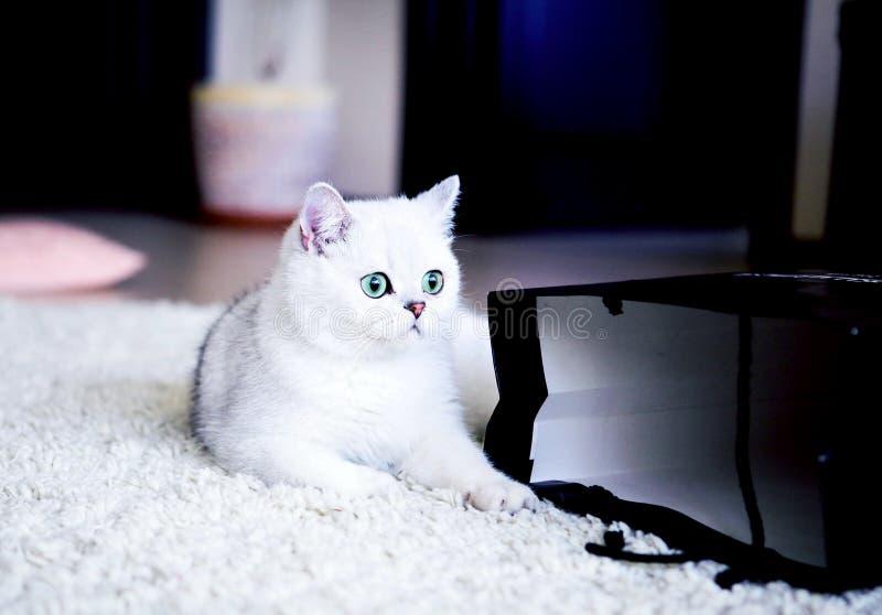 Katt brittiskt som är gullig, shorthair, hår, grå färg, ögon, grå färger, päls, barn, lyckligt, roligt, älsklings-, djurt, fullbl arkivfoto