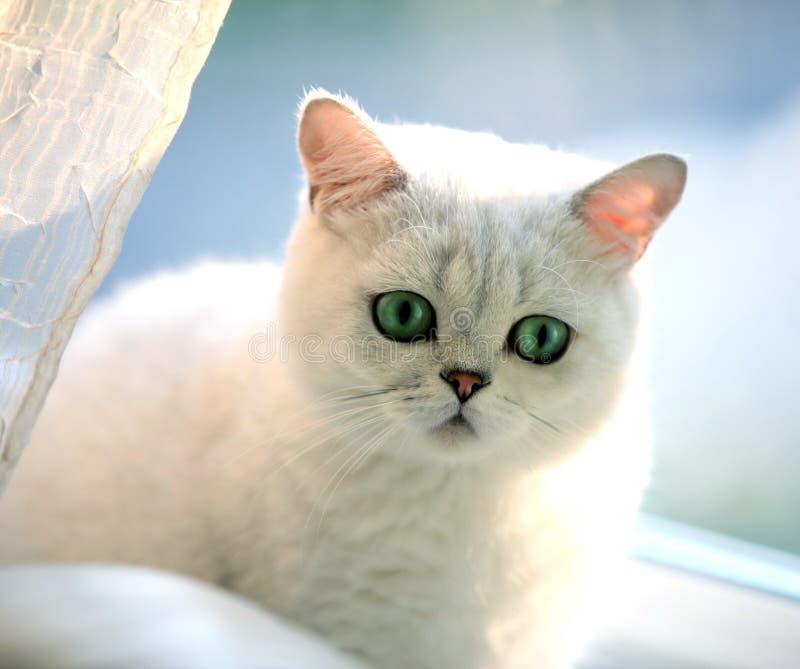 Katt brittiskt som är gullig, shorthair, hår, grå färg, ögon, grå färger, päls, barn, lyckligt, roligt, älsklings-, djurt, fullbl royaltyfri fotografi