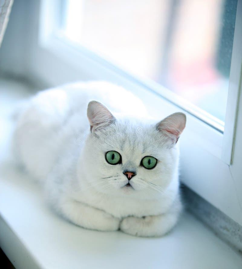 Katt brittiskt som är gullig, shorthair, hår, grå färg, ögon, grå färger, päls, barn, lyckligt, roligt, älsklings-, djurt, fullbl royaltyfria foton