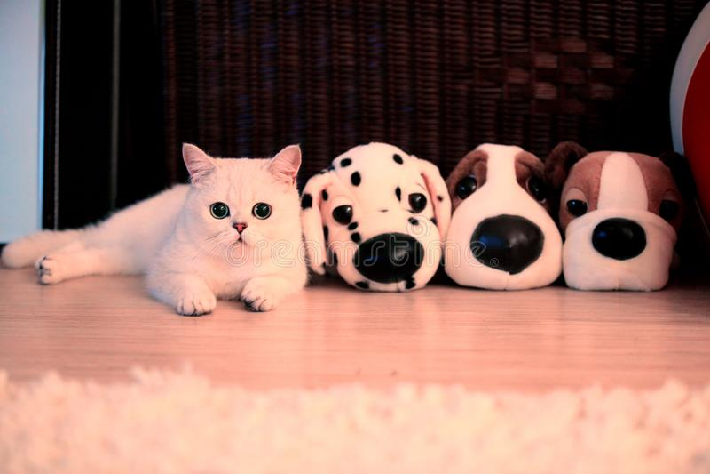 Katt brittiskt som är gullig, shorthair, hår, grå färg, ögon, grå färger, päls, barn, lyckligt, roligt, älsklings-, djurt, fullbl arkivfoton