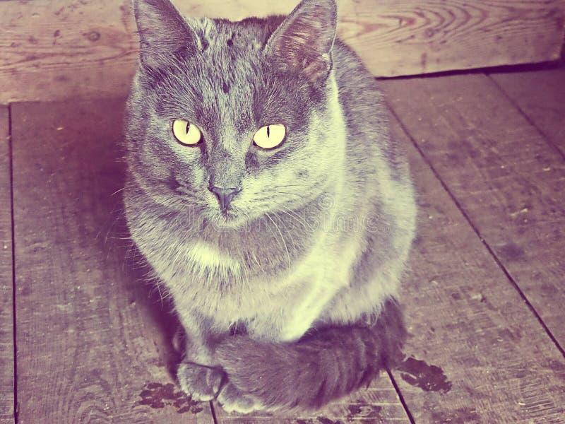 Katt djur grå katt royaltyfria bilder