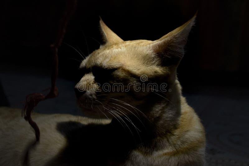 Katt ett guld- husdjur av hus - 12 royaltyfria bilder