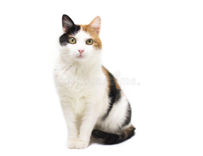 Katt för färg för sköldpadda tre ung på vit backround arkivfoto