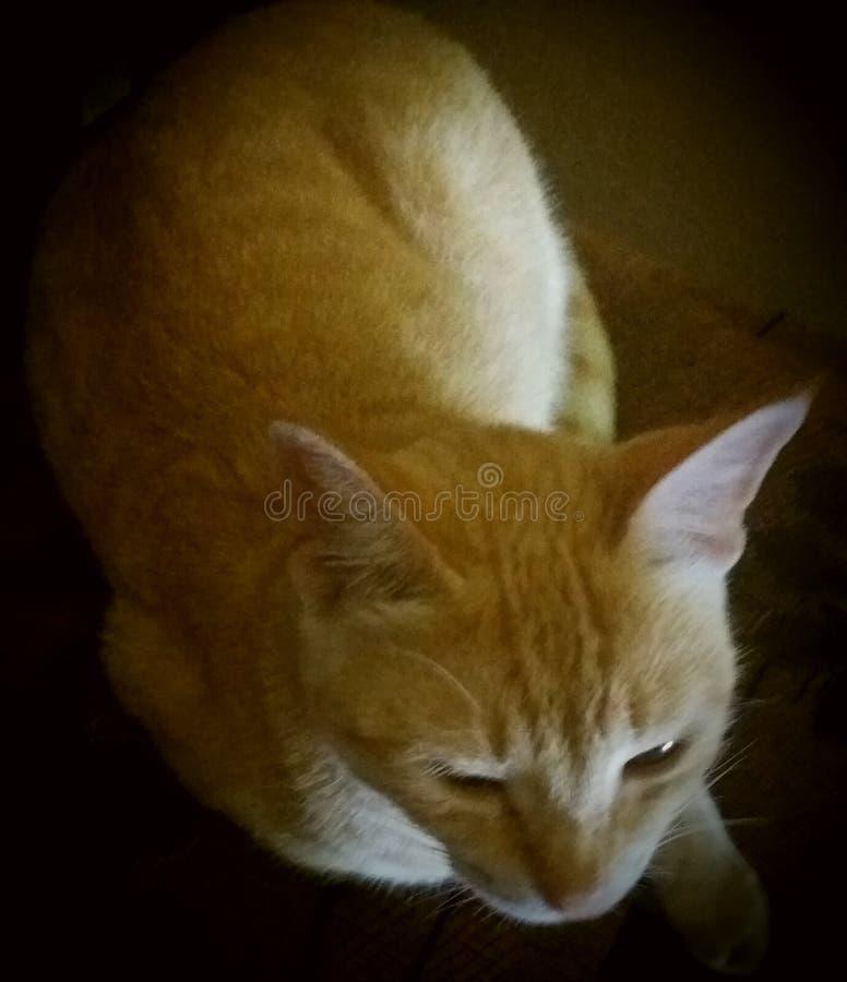 Katt för gul brunt royaltyfri foto