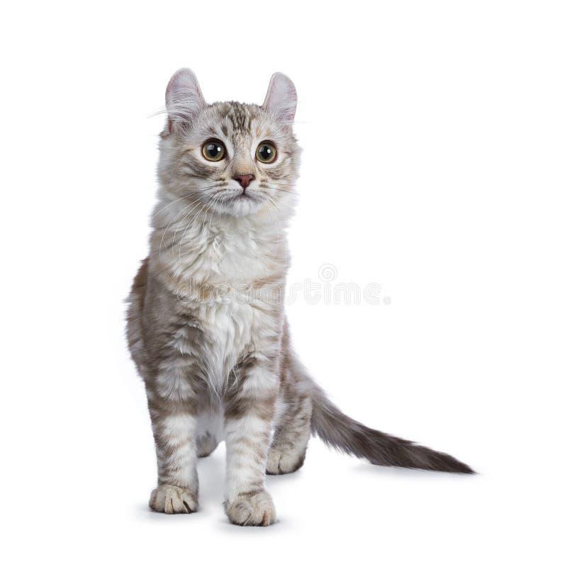 Katt för krullning för strimmig katt för chokladsilvertortie amerikansk royaltyfria bilder