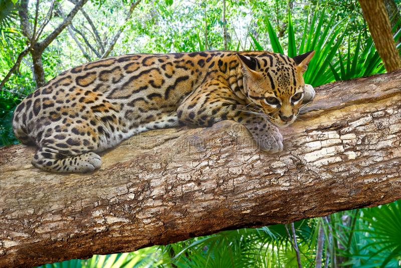 Katt för Ocelote Leopardus pardalisozelot royaltyfria bilder