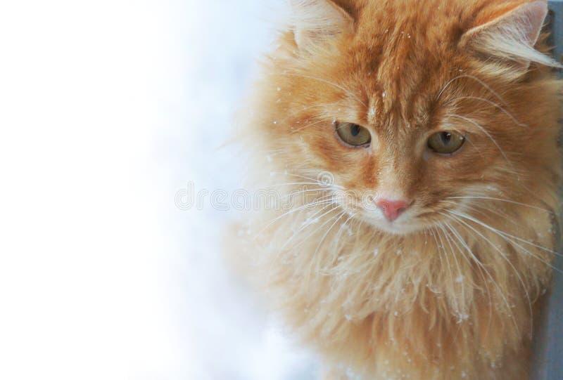 Katt för röd ingefära i snönärbilden arkivfoto